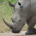 Could proposed rhino horn legislation save rhinos?