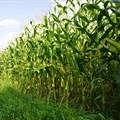 Value of maize harvest is overrated