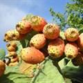 miguelibars via  - Prickly pear