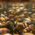 Aquaculture in sub-Saharan Africa: small successes, bigger prospects?
