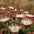 Leo-setä via  - Mesembryanthemum plant can revive within a short period of time after a drought