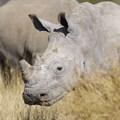 Arrest of rhino horn smugglers welcomed