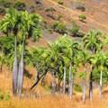 Dypsis decipiens - a highly threatened palm of Madagascar. Mijoro Rakotoarinivo, author provided