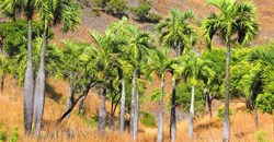 Dypsis decipiens - a highly threatened palm of Madagascar. Mijoro Rakotoarinivo, author provided