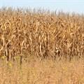 Zimbabwe bans corn imports after bumper crop: media