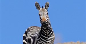MZNP celebrates 80 years of protecting the Cape mountain zebra