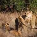 Three amazing lion pride camps in South Africa