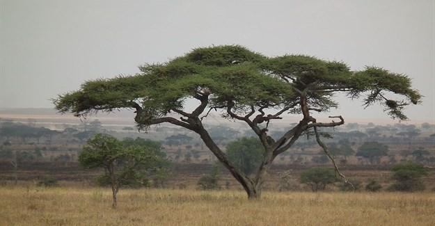 Nevit Dilmen via  - Acacias are  planted in Tanzania as fodder trees