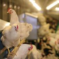 Avian influenza detected on a cape poultry farm