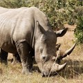 South Africa's first online rhino horn auction ends in risky impasse