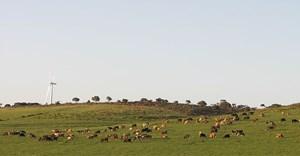 NJR ZA via  - cattle grazing on Jeffreys Bay wind farm