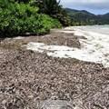 Innovative business in Seychelles to turn seaweed into fertiliser