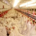 American poultry expert shares gold standard for avian flu control