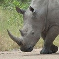More restrictions for rhino horn trade
