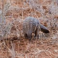 Pangolin trade forces Ghana to look at new wildlife laws