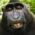 The #monkeyselfie - who owns it?