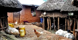 EthioChicken produces highly fertile, disease-resistant chickens and sells them to farmers at affordable prices. (Image: WikiCommons)