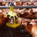 Opportunities in the East-African poultry sector