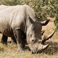 Draft regulations for domestic rhino horn trade finalised