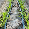 Why farmers should consider drip irrigation