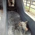 January disease kills 2,000 cattle