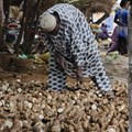 Tenisnaps via . Cassava farmer arranges his tubers in line while he waits for buyers.