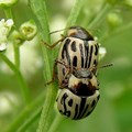Santosh Namby chandran via  - The leaf-feeding beetle Zygogramma bicolorata is one of the most promising biocontrol agents used against famine weed in South Africa.