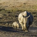 Rhino poaching in South Africa has dipped but corruption hinders progress