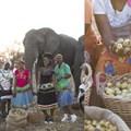 Arrival of elephants marks start of marula harvest season in Limpopo