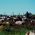 Jklaasen via  - Goats and sheep leaving a kraal in Namaqualand