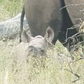 Spotted: first calf of WWF's 11th black rhino population