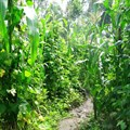 AnnaJB via  - Intercropping maize and beans in Rwanda