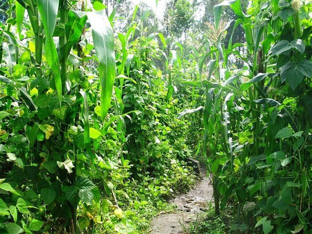 AnnaJB via  - Intercropping maize and beans in Rwanda