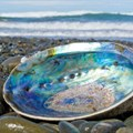 Abalone poaching: lifting the lid on why, how and who