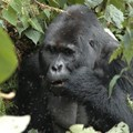 LIA and Gorilla Doctors announce new global competition