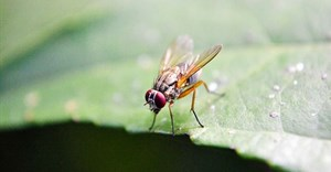 nuzree via  - fruit fly