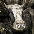 Can meat exports be made humane? Here are three key strategies