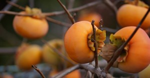 SA gets taste for Sharon fruit