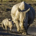 Field rangers arrested for suspected rhino poaching