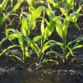 Helping plants remove natural toxins could boost crop yields by 47%