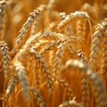 #AgriMarkets: The weather remains a vital part of the discussion in SA wheat market