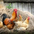 EU short-term outlook for poultry remains strong