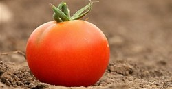 Key findings and insights into the U.S. tomato market