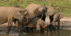 Can sound help save a dwindling elephant population? Scientists using AI think so