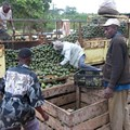 Kenya's 'fruitless years' in South Africa come to an end with avocados re-entering the market