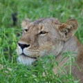 Most lion bones in South Africa come from captive-bred lions. Author supplied