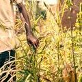 GDP shocker, and a further drop in agriculture output