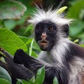 Zanzibar Red Colobus, endemic to Tanzania. Image by by Hasin Shakur, GFDL 1.2,