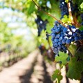 Old vines take centre stage at CapeWine2018