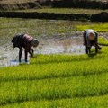 Rice fields in Madagascar. There is a project in the country to increase climate resilience in the rice sector. Shutterstock